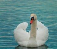 лебеди белые романтичная предпосылка красивейший лебедь стоковые фото