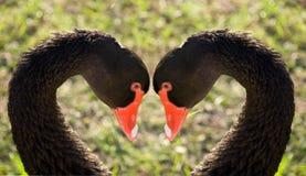 лебеди верности стоковые фотографии rf