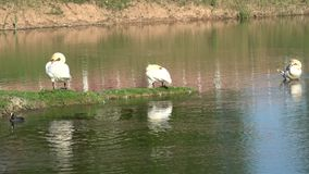 Лебеди в городе видеоматериал