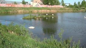 Лебеди в городе сток-видео