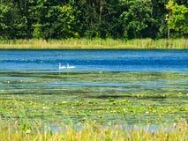 Лебеди в заболоченных местах озера леса плавая среди пусковых площадок лилии на солнечный день в Минесоте стоковые изображения rf