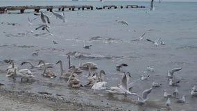 Лебеди в Каспийском море сток-видео