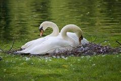 лебеди гнездя стоковая фотография rf