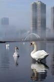 Лебеди города Стоковые Фотографии RF