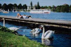 Лебеди грациозности Грейса белые на озере Alster Непознаваемые люди охлаждают на пристани в предпосылке на солнечный день hamburg стоковое фото rf