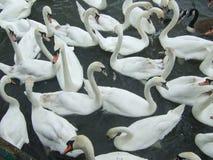 лебеди группы Стоковые Изображения