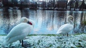 Лебеди зимовки белые на канале воды города Slupsk стоковое изображение rf