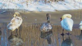 Лебеди зимовки на пруде сток-видео