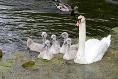Лебеди и молодые лебеди стоковые изображения rf