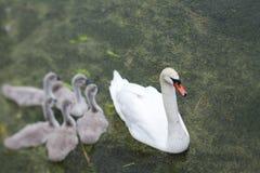 Лебеди и молодые лебеди стоковые изображения