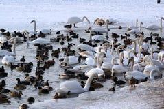 Лебеди и утки в зиме стоковое изображение