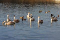 Лебеди и утки. Стоковые Фото