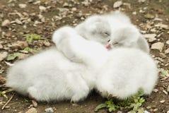 лебеди младенца Стоковая Фотография