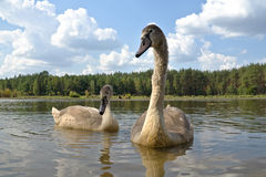 лебеди молодые Стоковое Изображение