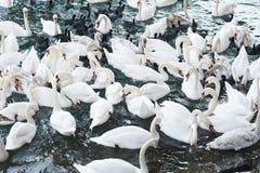 лебеди мочат белизну стоковая фотография