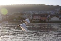 Лебеди над рекой Мозель, Люксембургом Стоковое фото RF