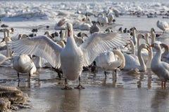 Лебеди на Дунае Стоковая Фотография