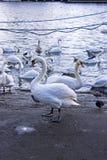 Лебеди на море стоковое изображение