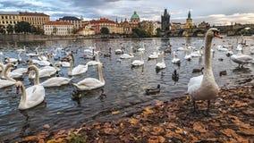 Лебеди на реке Влтавы, Праге, чехии Стоковые Изображения RF