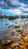 Лебеди на реке Влтавы Стоковые Изображения RF