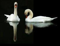 лебеди отражений стоковое изображение rf