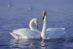 лебеди пар белые Стоковые Изображения RF