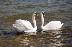 лебеди пар стоковые фото