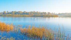 Лебеди плавая вдоль туманного края озера на восходе солнца в осени стоковое изображение