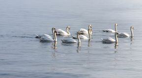 Лебеди плавая на озере стоковое изображение