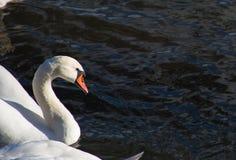 Лебеди плавая на спокойном реке стоковые фотографии rf