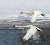 лебеди полета Стоковое фото RF