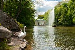 Лебеди приближают к красивому фонтану на озере в парке Sofiyivsky в Uman, Украине стоковые изображения rf