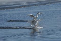 Лебеди принимая полет на озеро Стоковое фото RF