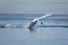Лебеди принимая полет на озеро Стоковая Фотография RF