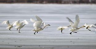 Лебеди принимая полет от льда стоковая фотография rf