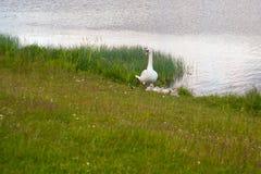 Лебеди птицы утиные семьи в пределах рода Cygnus Лебеди закрывают родственники для включения гусынь и уток Лебеди с близко стоковая фотография