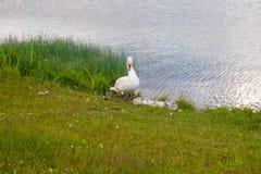 Лебеди птицы утиные семьи в пределах рода Cygnus Лебеди закрывают родственники для включения гусынь и уток Лебеди с близко стоковое фото rf