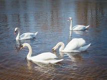 лебеди реки белые стоковое изображение rf