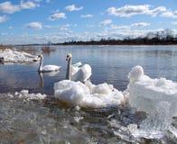 лебеди реки Стоковая Фотография RF