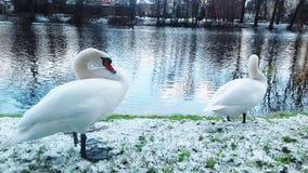 Лебеди руки представляют для фотографов в Slupsk стоковая фотография rf