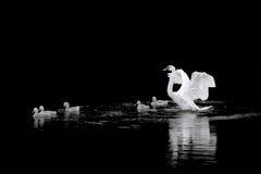 лебеди семьи стоковое изображение