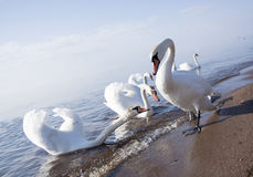 лебеди семьи Стоковая Фотография