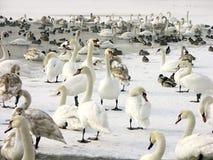 лебеди стаи уток Стоковая Фотография RF