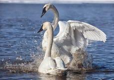 Лебеди трубача стоковое фото