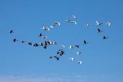 Лебеди тундры и канадские гусыни Стоковые Фотографии RF