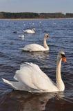 лебеди чаек Стоковое Изображение RF