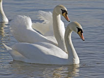 лебеди Стоковые Изображения