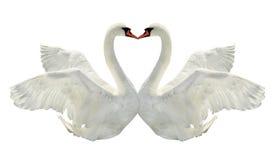 лебеди 2 поцелуя стоковая фотография rf