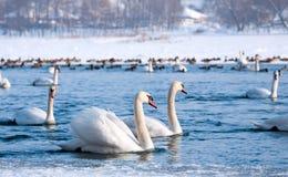 лебеди стоковые изображения rf