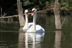 Лебеди Стоковая Фотография RF